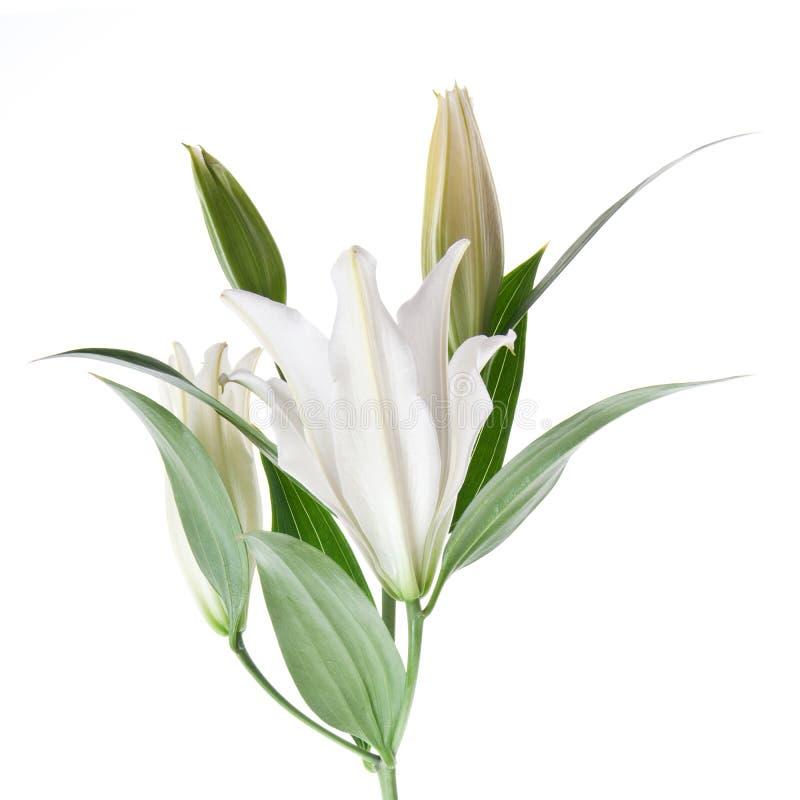 lilly白色 免版税库存照片