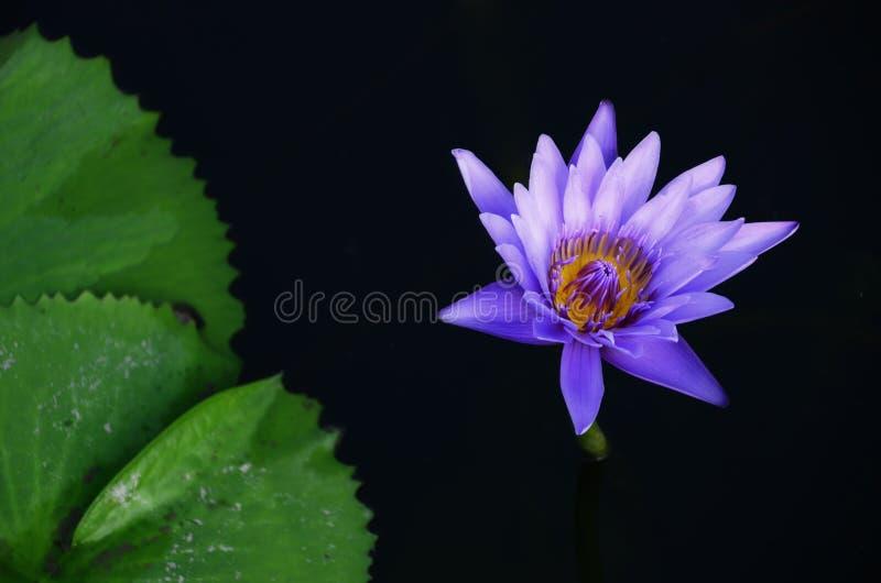 lilly紫罗兰色莲花水在有莲花叶子的一个池塘 库存图片