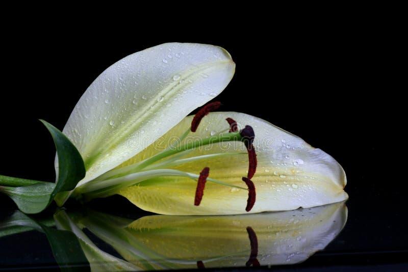lilly美丽的复活节花 免版税库存图片