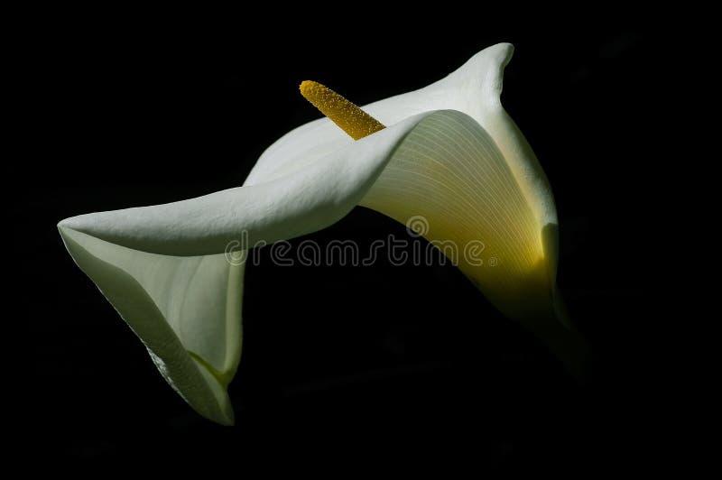 lilly黑色水芋属 免版税图库摄影