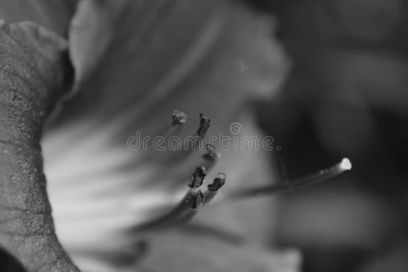 lilly黑色白色 免版税库存照片