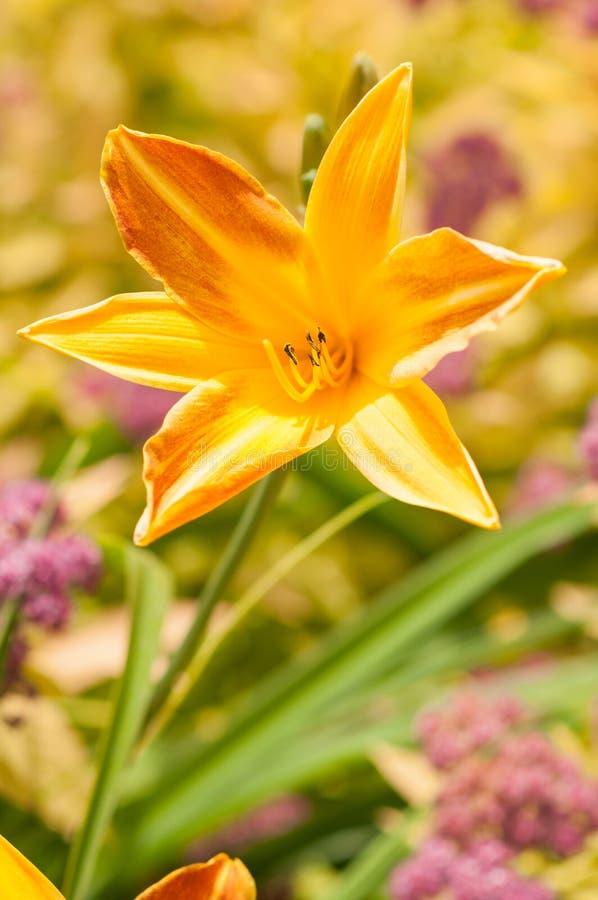 lilly żółty zdjęcie royalty free