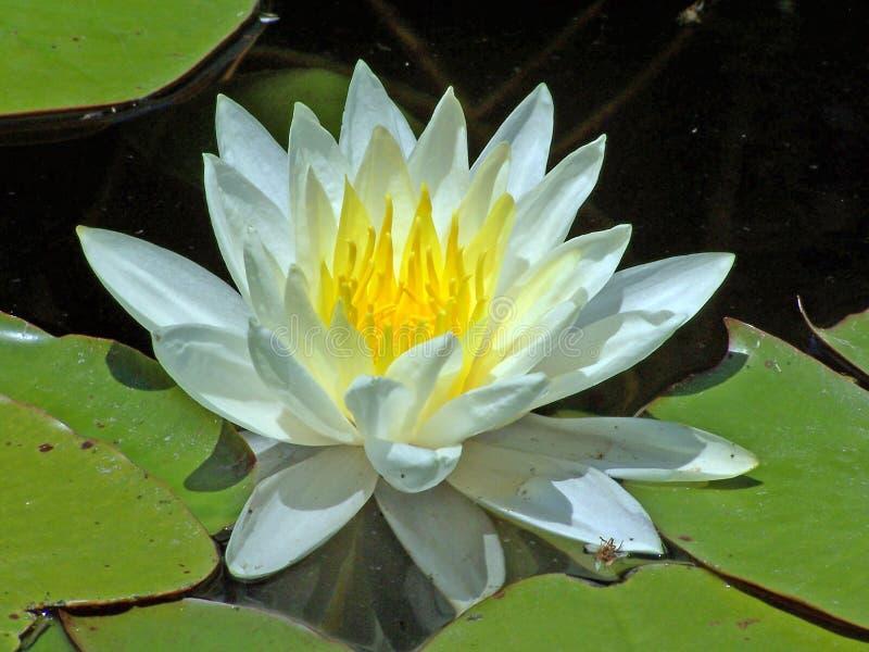 lilly λευκό ύδατος στοκ φωτογραφία
