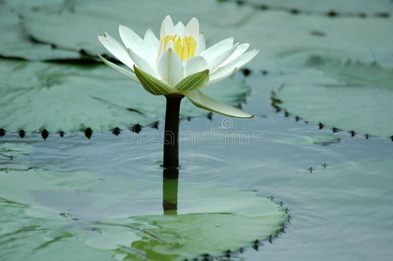 Download Lilly ύδωρ στοκ εικόνες. εικόνα από άδεια, ποταμός, λουλούδι - 388938