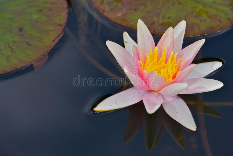 lilly вода стоковые изображения