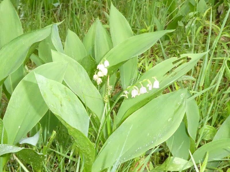 Lilly долины с белым цветением в лесе стоковая фотография