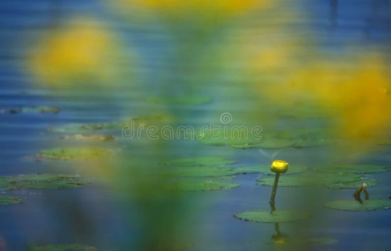 lilly желтый цвет воды стоковая фотография