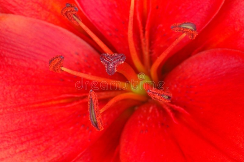 Download Lilly stock image. Image of blooming, gardens, lillies - 113823