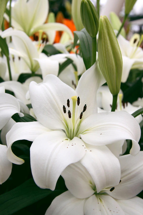 Download Lilly Stock Photography - Image: 29136152