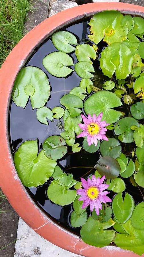 lilly水 库存图片