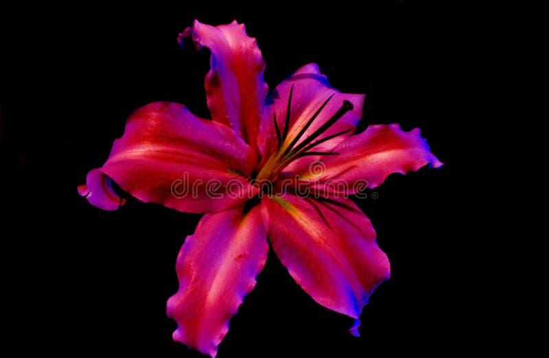 lilly royaltyfri fotografi
