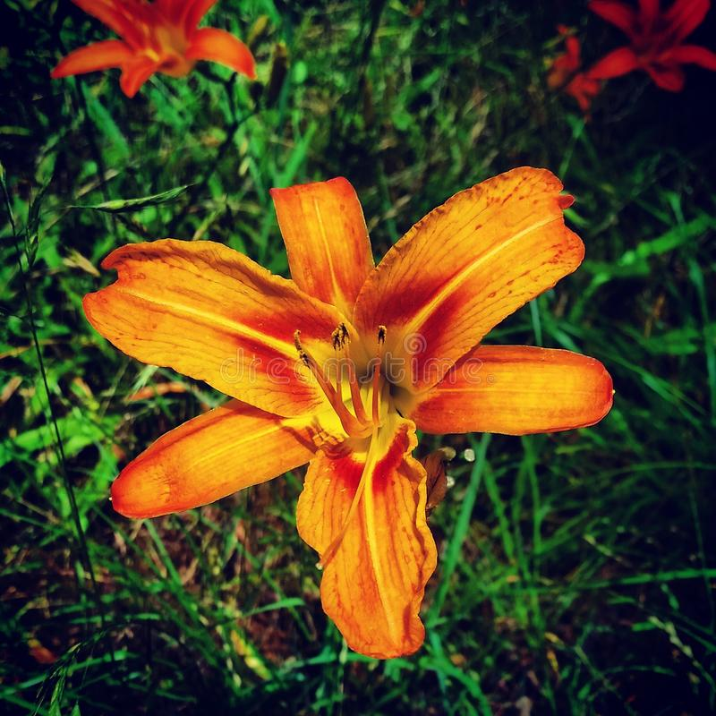 lilly στοκ εικόνες