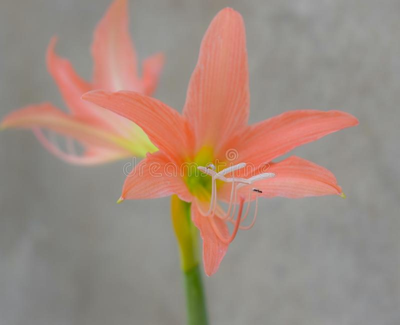 lilly image stock