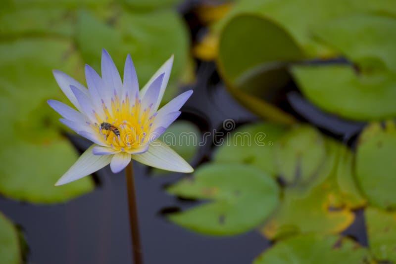 lilly royaltyfria foton