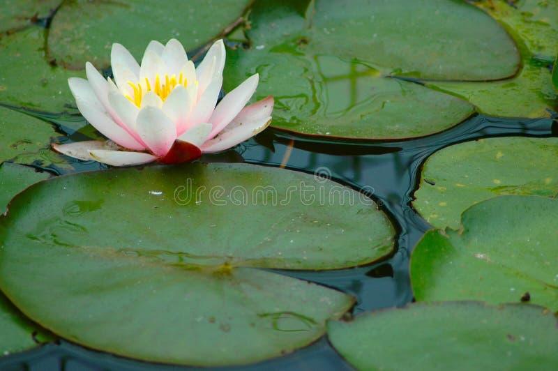 Lilly Auflagen mit Blume. lizenzfreie stockfotografie