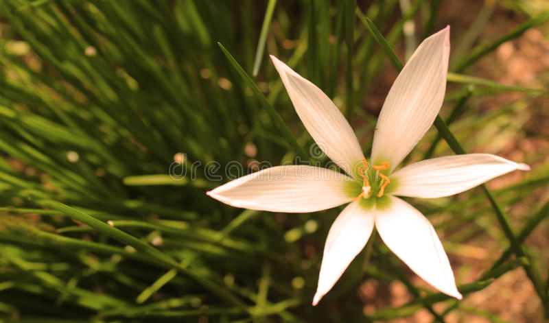 Lilly bianco immagine stock