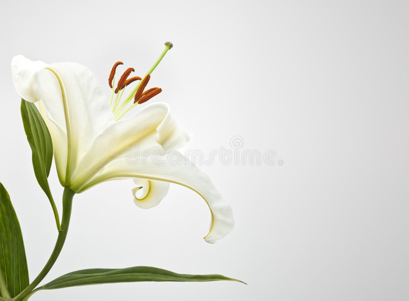 lilly blanc image stock