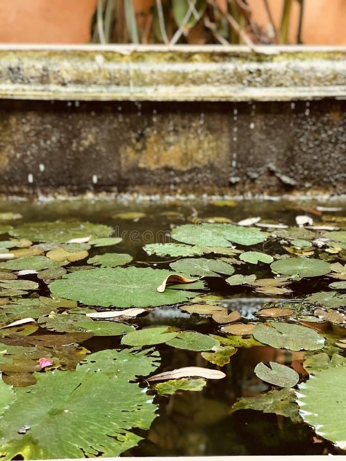 Lilly block som ligger på en pöl i Merida, Mexico - MEXICO royaltyfri foto
