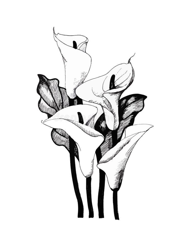 Lilly blom- Calla, svartvit illustrationbakgrund stock illustrationer