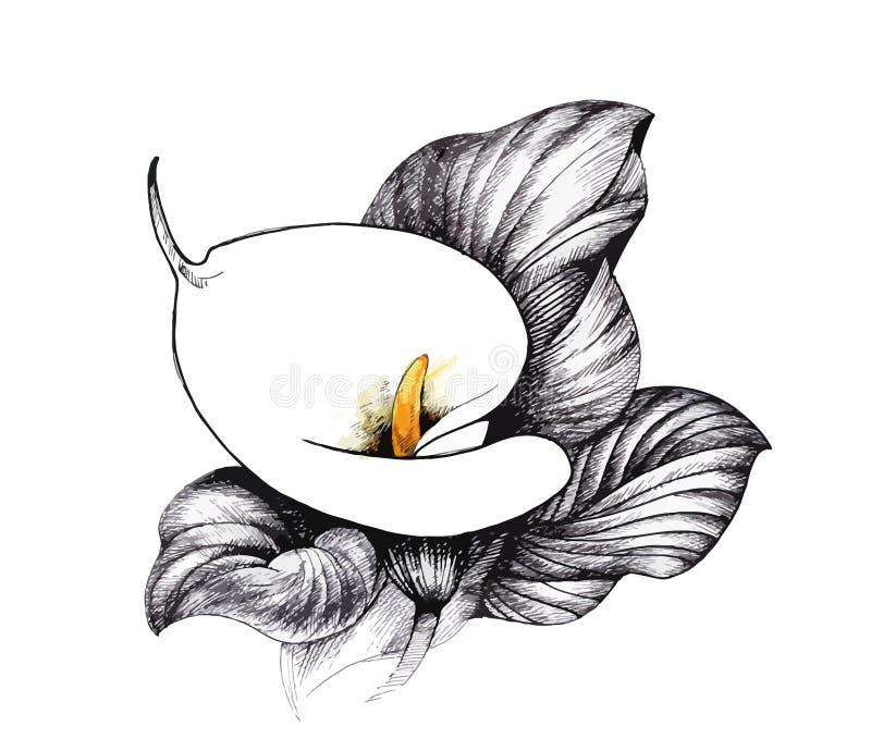 Lilly blom- Calla, svartvit illustrationbakgrund royaltyfri illustrationer