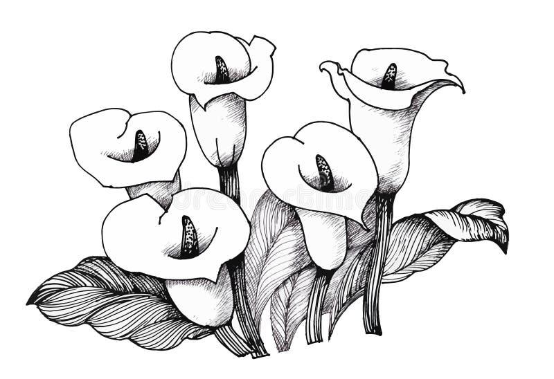 Lilly blom- Calla, svartvit illustrationbakgrund vektor illustrationer