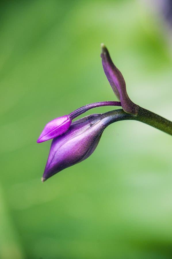 Lilly-Blumenknospendetail stockbild