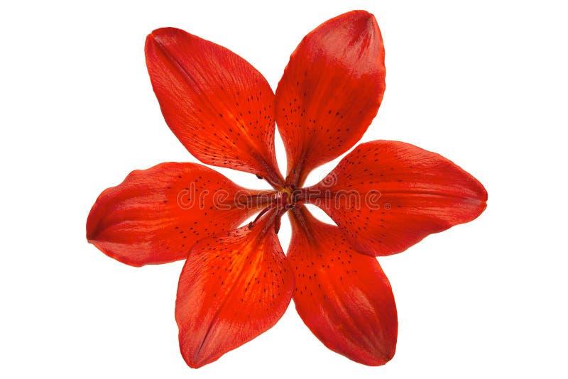 Lilly capolino rosso immagini stock