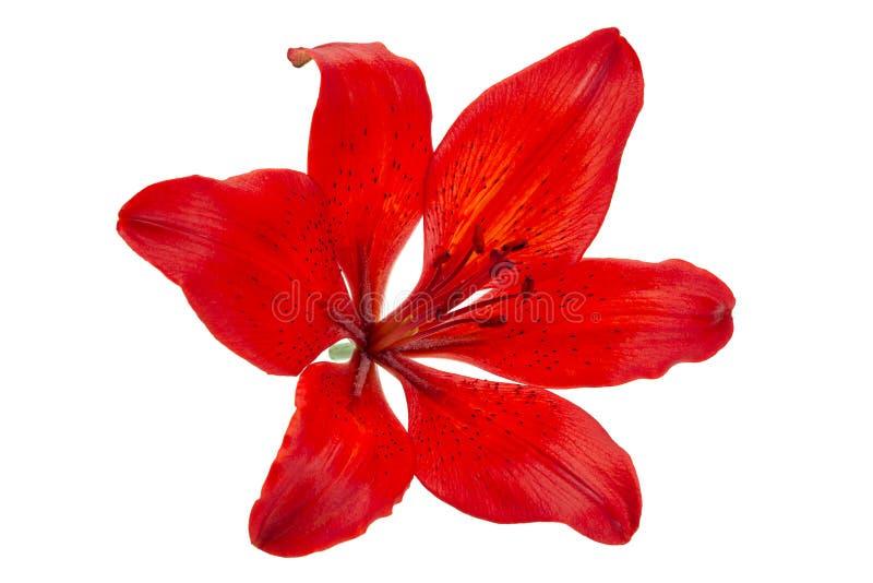 Lilly capolino rosso fotografia stock