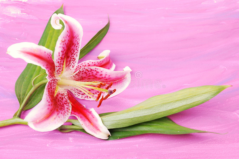 Lilly on colorwash background stock photography