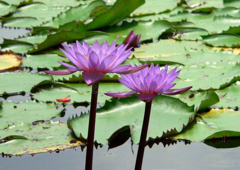 Download Lilly couple stock photo. Image of stand, lake, beauty - 156212