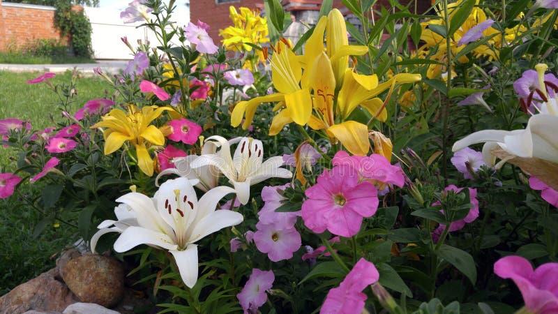 Lilly in de tuin stock afbeeldingen