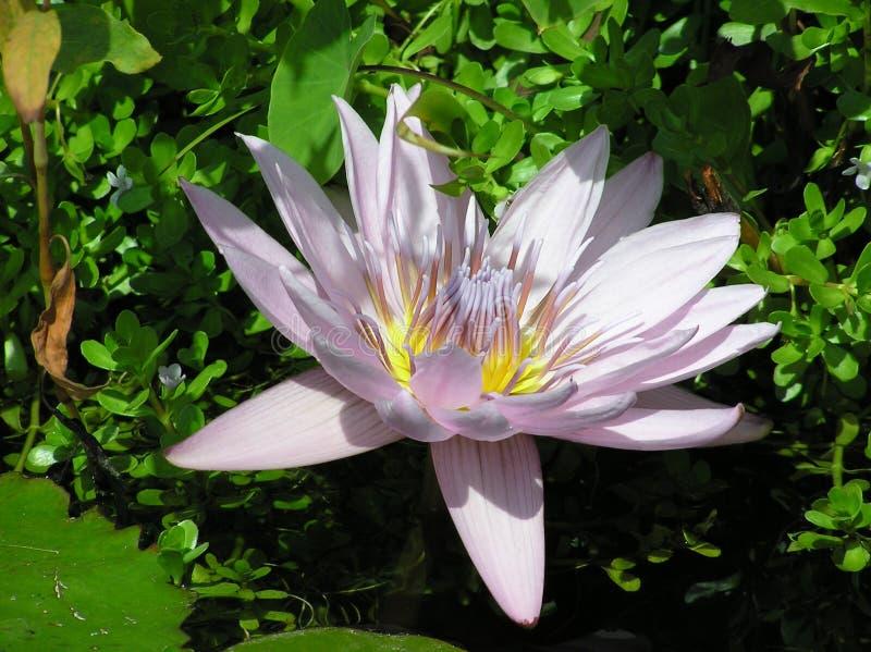 Lilly die Wasserlilie lizenzfreies stockbild