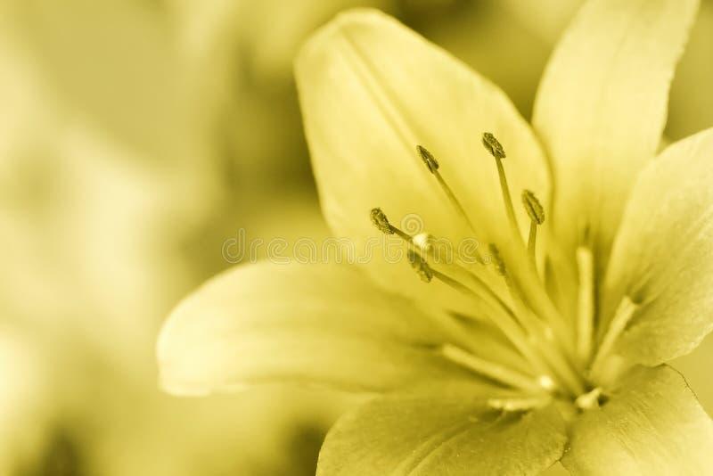 Lilly dourado imagens de stock royalty free