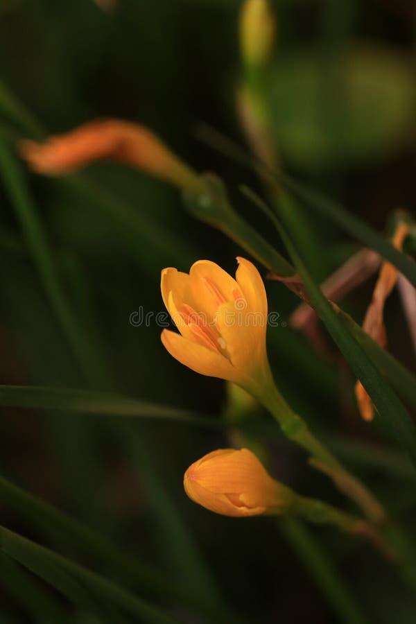 Lilly fiore selvaggio fotografie stock libere da diritti