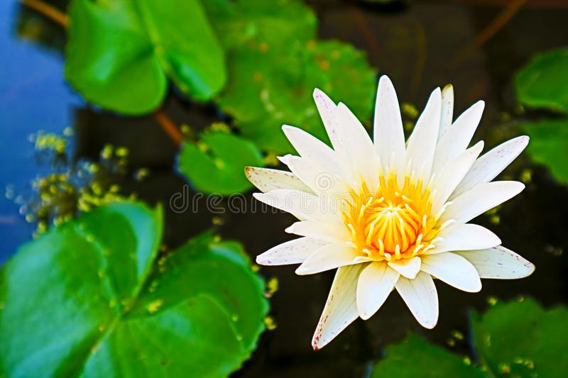 lilly flower blooming on day green lilly pad backgroung royalty free stock photo