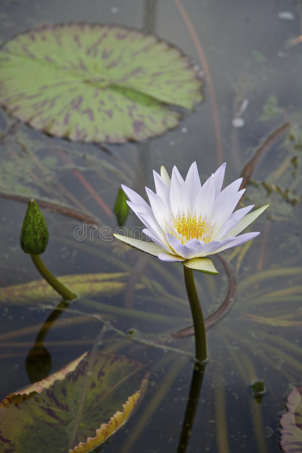 Download Lilly Flower In A Pond (Nymphaeaceae) Royalty Free Stock Photos - Image: 14989798