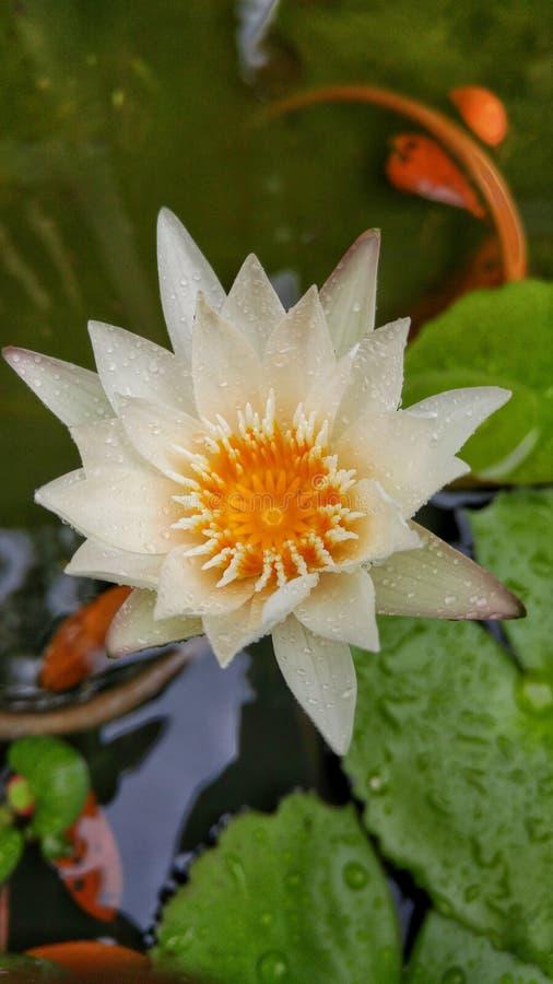 Lilly kwiat w wodzie fotografia royalty free