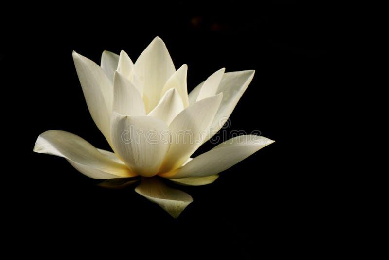 lilly lotusblommavatten royaltyfri foto