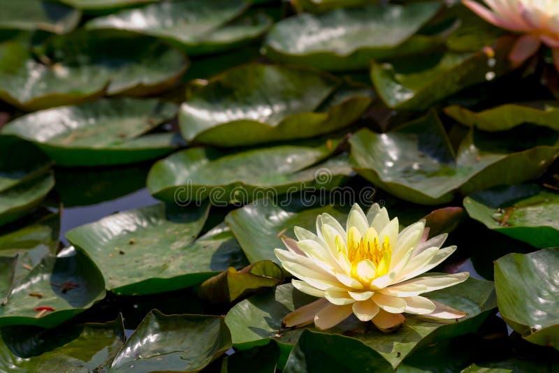 lilly lotusblommavatten royaltyfria foton
