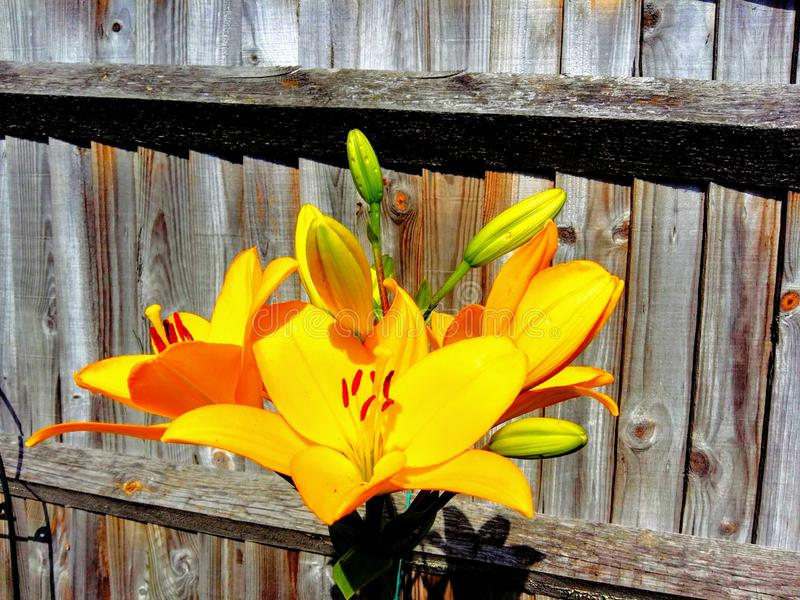 Lilly nel giardino fotografia stock libera da diritti