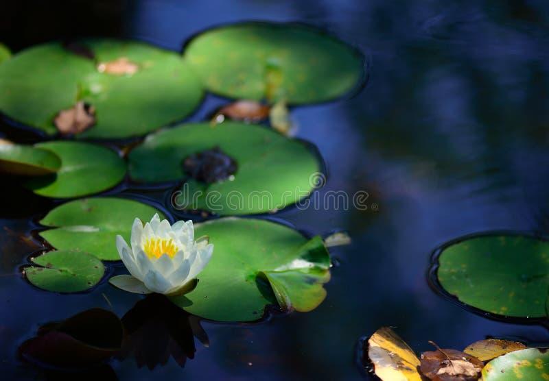 Lilly ochraniacza kwiat wewnątrz watergarden na lato ranku obraz royalty free