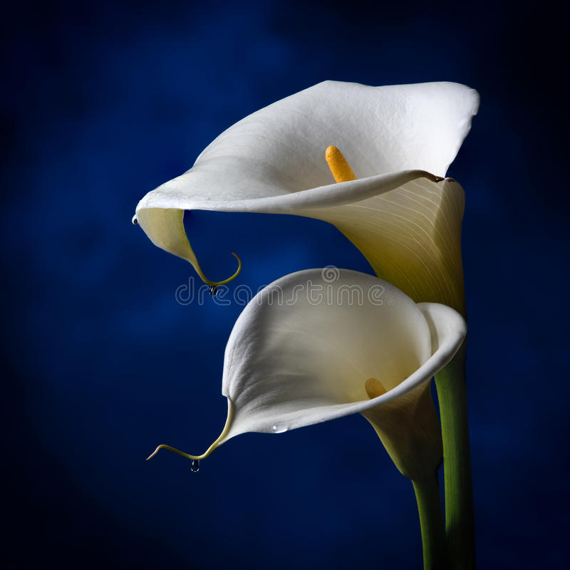 Free Lilly On The Dark Blue Background Stock Images - 74542424
