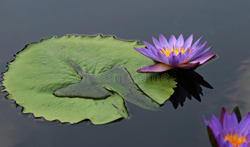 Lilly pad stock photos
