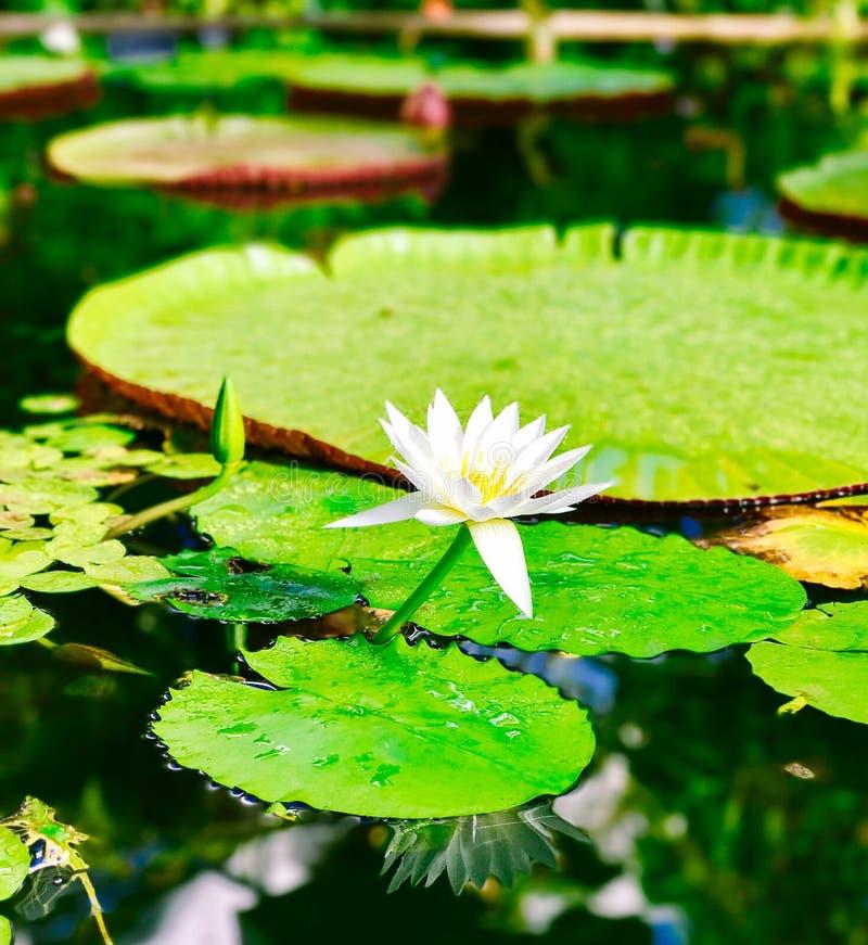 Lilly Pad i wintergardendammet arkivbild