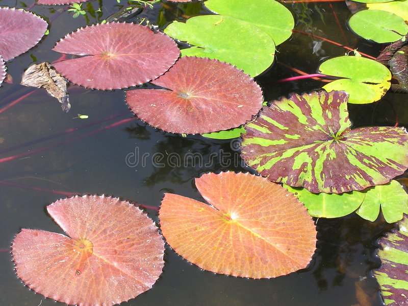 Lilly Pads stock photos