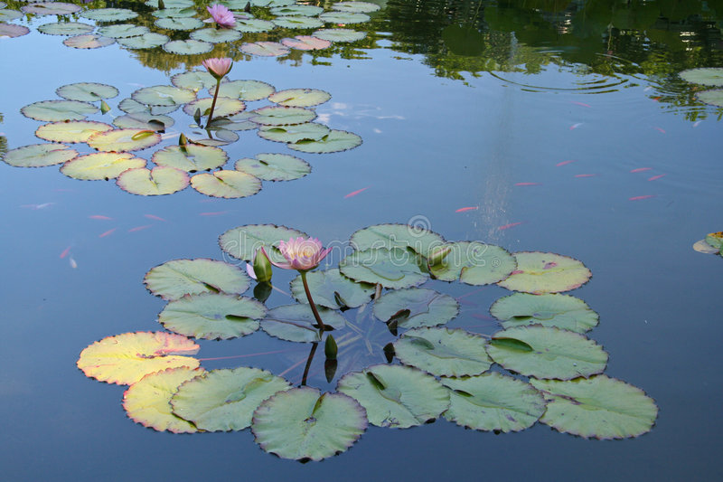 Download Lilly Pads stock image. Image of swimming, rural, swim - 409975