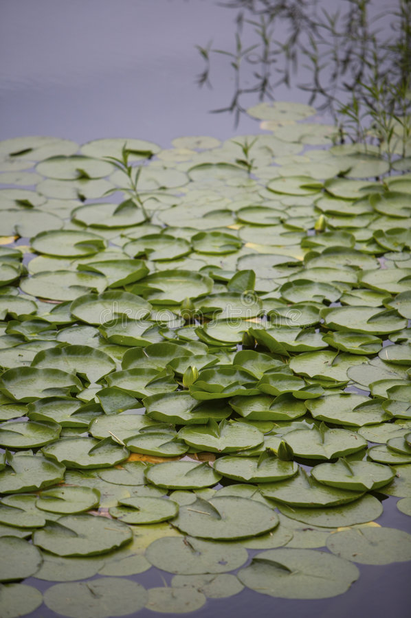 Download Lilly Pads stock image. Image of quiet, green, natural - 887159