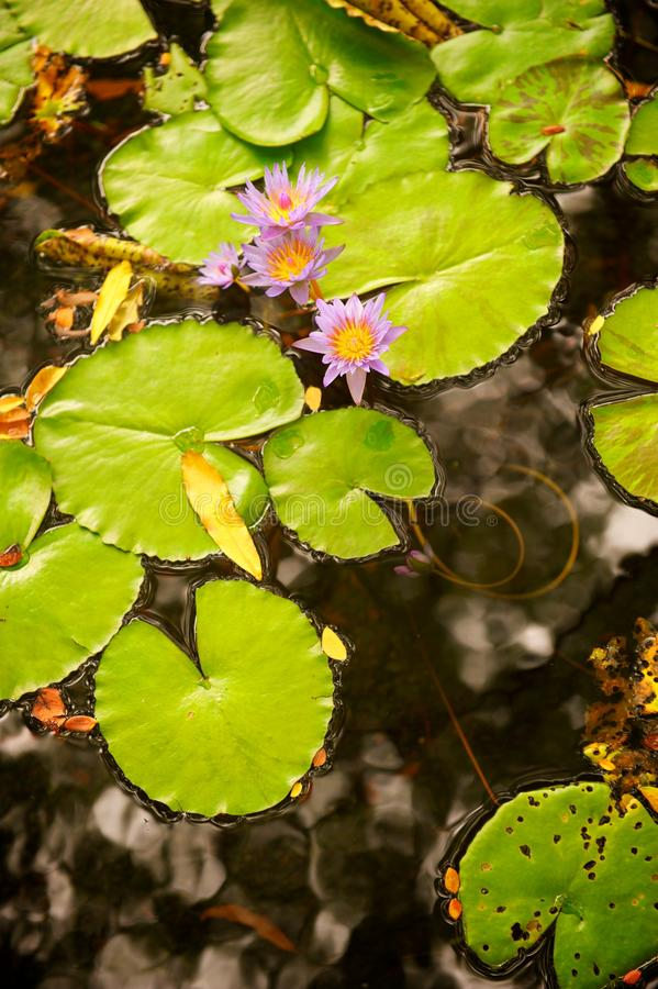 Lilly Pads and Flower in Pond stock photography
