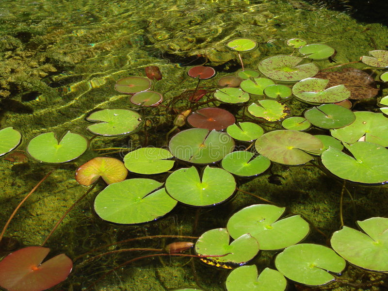 Lilly pads in a garden pond royalty free stock photography