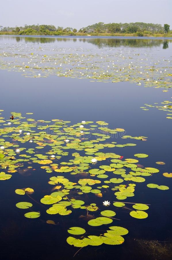 Free Lilly Pads In A Florida Swamp Stock Photos - 1327343